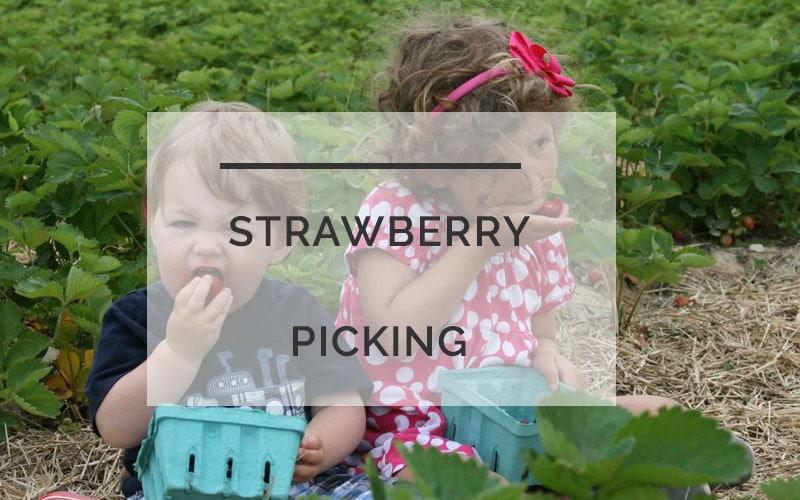 strawberry-picking-20