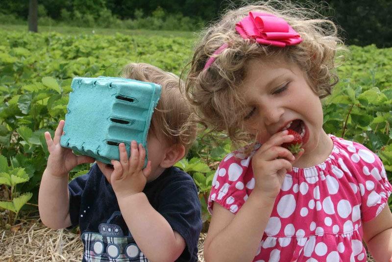 strawberry-picking-3