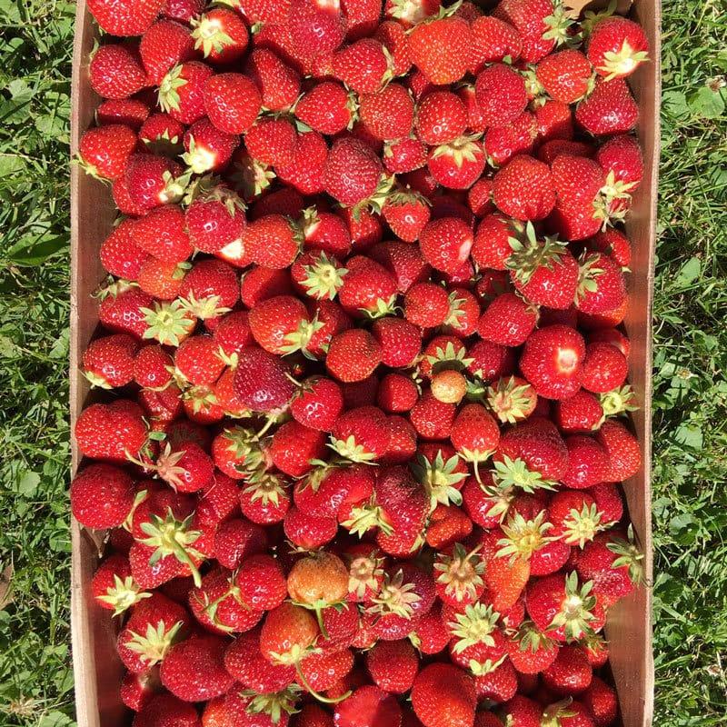strawberry-picking-32