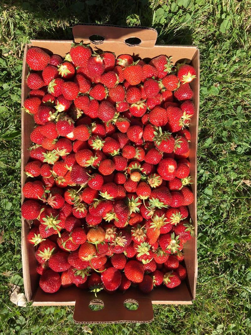 strawberry-picking-34