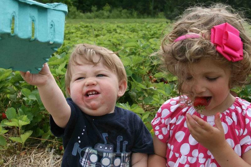 strawberry-picking-4